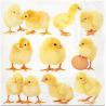 Paw TETEaTETE serwetki z bibuły 33x33 cm 20szt (wzór kurczaki)